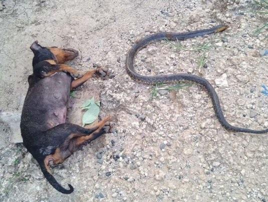 Cães sacrificam as vidas para proteger bebê de cobra venenosa